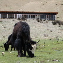 The hostel building for students above grade 4. Yak seen grazing in the nearby grassland.